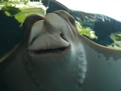 Say Cheese!!! (Kookanoid) Tags: columbuszoo fish smile stingray teeth grin