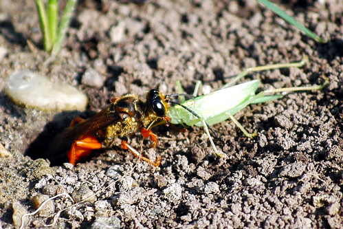 golden digger wasp day 6
