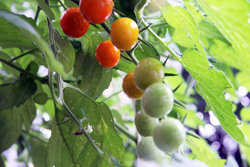 Copy of sungold tomatoes