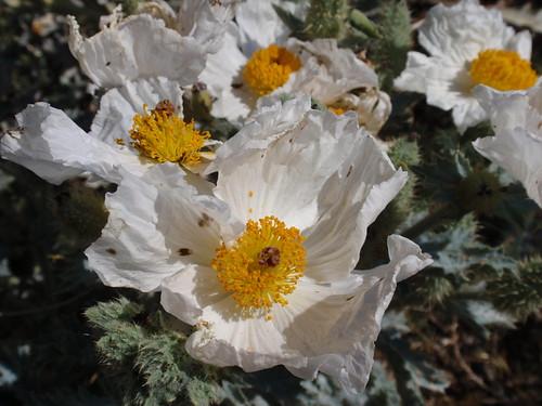 Prickly Poppy 06