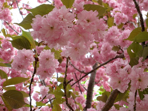 flowering tree - pink blossoms