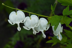 Bleeding Hearts (njchow82) Tags: white plant flower nature spring bokeh flowerscolors ccloseup bleddinghearts njchow82 dmcfz35