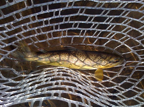 Wild Winter Brown Trout