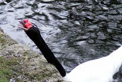 Feed me . (giggirl 1) Tags: black water swan headed