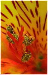 Yellow (motorsportimagesbyghp) Tags: flower eos visualart extensiontubes bej flickrcolour 400d yellowcanon