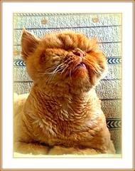 God,Listen to me (sevgi_durmaz) Tags: cute animals cat sweet lol cinnamon cuteness garfield asking garfi blueribbonwinner othercats bej abigfave lolcats flickrdiamond forgod goldstaraward vosplusbellesphotos tarcın listenme minescat