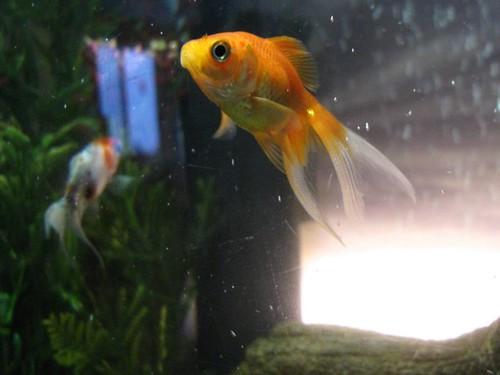 fish aquarium tank fantail