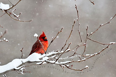 (scifitographer) Tags: winter snow cold tree bird nature fauna canon woods cardinal wildlife snowing 2009 cardinaliscardinalis northerncardinal top20birdshots canon100400mml 40d bethanthony genuscardinalis retroreflectography