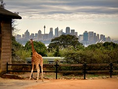 Animals in the City (blevefrancesco) Tags: city verde animals zoo sydney australia animali pacifico taronga giraffa oceano citt oceania abigfave aplusphoto