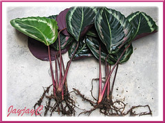 Propagating by division: Calathea roseo picta cv. 'Eclipse' (Prayer Plant, Rose Painted Calathea). Shot March 2009