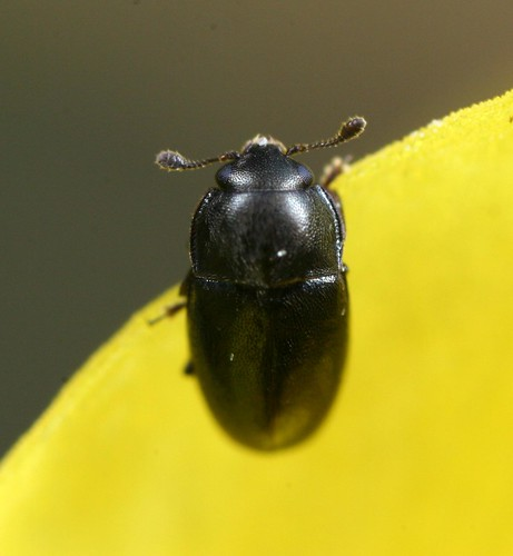 Pollen beetle sp