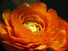 regal (kf4usq) Tags: flower ranunculus bloom