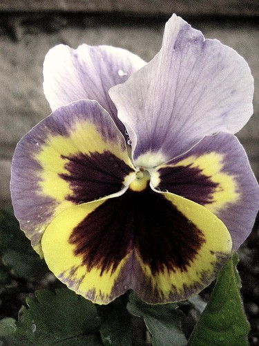 Pansy at San Damiano