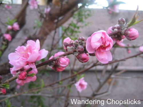 2.7 Nectarine Blossoms 3