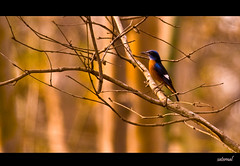 Blue Capped Rock Thrush (saternal) Tags: birds dandeli bluecapped rockthrush aplusphoto bluecappedrockthrush monticolacinclorhynchus saternal indiabirding