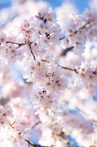 Sakura 2009*