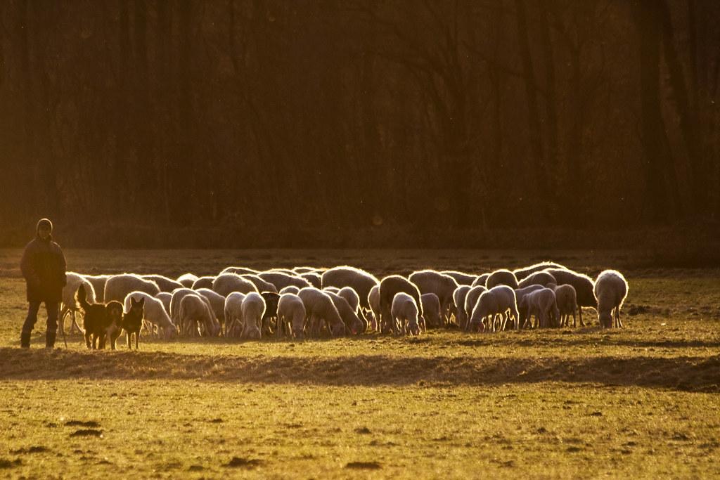 Sheeps #2