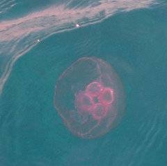 09 - One of the jellyfish. Imagine thousands more of them and us diving through that wall