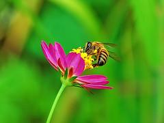 Bee at work (Pedro Cavalcante) Tags: nikon 18135 supershot d80 nikond80 colorphotoaward vosplusbellesphotos