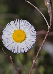 tiny daisy (wplynn) Tags: arizona flower desert blossom bloom sonoran