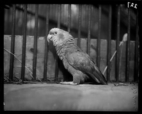 Amazon Parrot at the Lincoln Park Zoo circa 1900