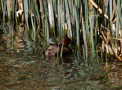 Little Grebe (John D Hardy) Tags: nottinghamshire clumberpark