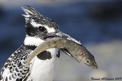 Big Catch (HAMAD ALKHUDARI) Tags: life wild fish bird king fisher hunter kuwait  2009 hamad q8         kvwc theperfectphotographer alkhudari