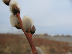 Fluffy (Billy Wilson Photography) Tags: wood sky ontario canada spring day branch dof bokeh fluffy atmosphere bark soo northern saultstemarie northernontario pussywillows algoma billywilson