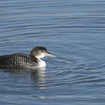 Common Loon (Gavia immer) in it's non breeding plumage. thumbnail