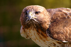 Hawk (judo_dad1953) Tags: portrait bird nature pentax hawk wildlife raptor ecomuseum aplusphoto