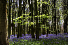 Bluebell Wood (Cathy G) Tags: flowers blue bluebells woods micheldever natureselegantshots