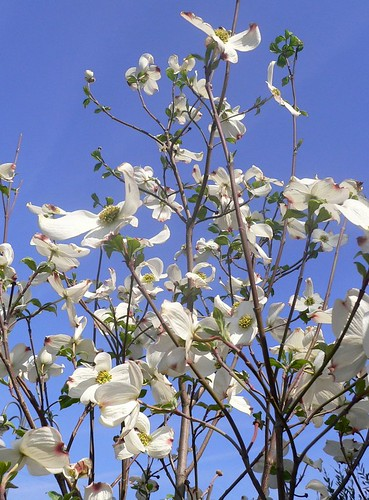 Cornus florida (Flowering Dogwood, syn. Benthamidia florida) is a species of