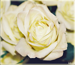 WHIPPED BUTTER ROSE (fantartsy JJ *2013 year of LOVE!*) Tags: flowers friends white love floral beauty butter sensational bouquet offwhite blueribbonwinner bej masterphotos mywinners infinestyle diamondclassphotographer theperfectphotographer bokehrose thesuperbmasterpiece buttergarden wonderfulworldofflowers simplythebest~flowers thecelebrationoflife lizasenchantedgarden macroamber