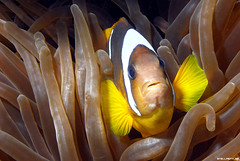 Clownfish (StellaStyles) Tags: sea fish uw mare underwater nemo wildlife sub redsea dive egypt sealife clownfish anemone scubadiving diver reef egitto anemonefish pesce pagliaccio subacquea marrosso pescepagliaccio sharmfugani