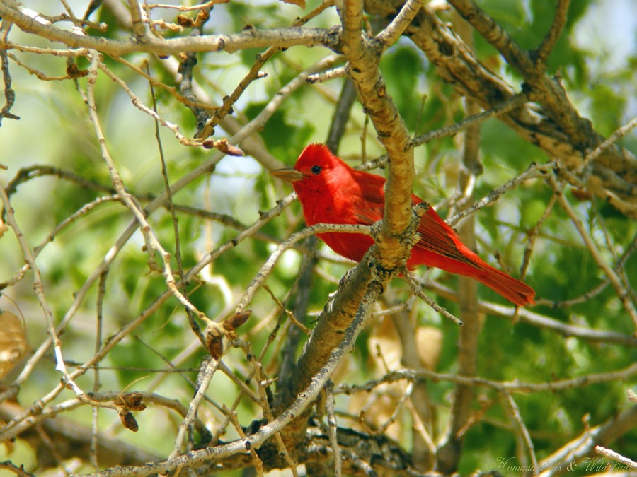 Summer Tanager 05091