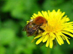 Bee on a Dandelion (bikesnapper) Tags: flower macro nature insect leicester dandelion bee aylestone beeonflower insectmacro beemacro beeonaflower aylestonemeadows