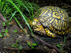 Box Turtle by Kerry Wixted, on Flickr