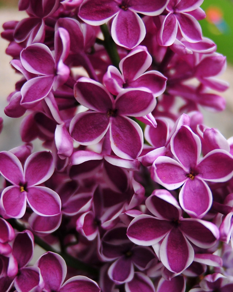 Lilacro