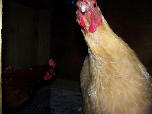 Henrietta says HI!