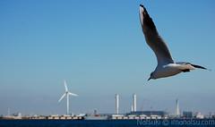 Día 17: Yokohama (nyatsuki) Tags: japan puerto aves yokohama gaviota japon minatomirai21 japon2008 japon2008dia17