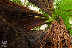 Tall Trees (Phijomo) Tags: california trees nature northerncalifornia landscape outdoors nikon perspective scenic wideangle redwood redwoods redwoodnationalpark d80 californiacoastalredwoods talltreesgrove nikond80 nikon1224f4 redwoodnationalstateparks phijomo