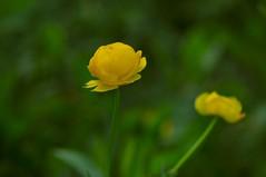Botton d'oro (paolo-55) Tags: macro primavera nikon belluno d300 cadore bottondoro trolliuseuropaeus floraalpina 105mmvrmicronikkor