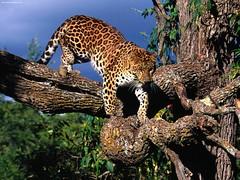 Tree Climber Amur Leopard