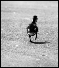The getaway! (Levels Nature) Tags: bw baby bird nature duck getaway wildlife duckling young waterbird run wildfowl carlsbirdclub