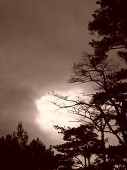 dusk (ms. kurdapya) Tags: tree pinetree baguiocity