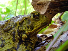 Western Toad Silhouette (shammonds) Tags: green wildlife amphibian toad western