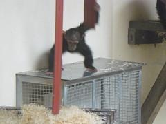 Chimps at Monkey World (textlad) Tags: dorset monkeyworld wareham monkeyworldaperescuecentre