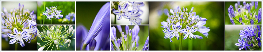 agapanthus array
