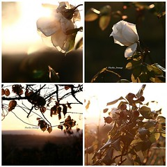 (iFhe) Tags: flowers light sunset plants nature rose fdsflickrtoys fhe federicaceccotti