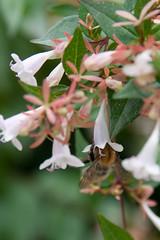 Menagerie Jardin des Plantes-7 (MissDogo) Tags: paris macro fleur animaux parc abeilles jardindesplantes proxyphoto hym hyménoptères hymnoptres